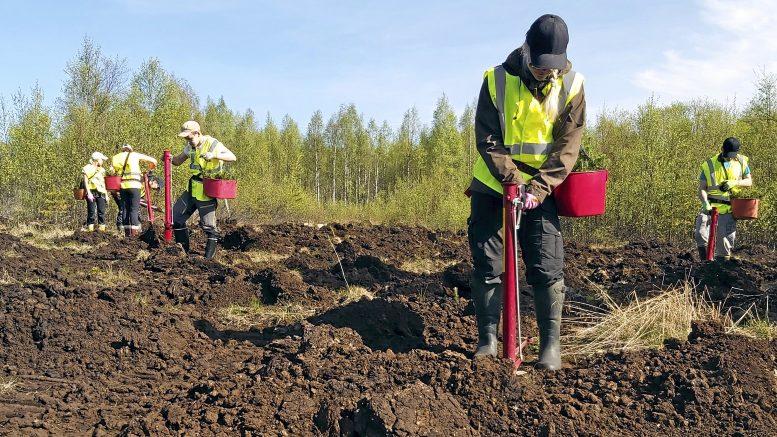 Tannilan Kynkäänsuolle nousee nuorten voimin Kiitollisuuden metsä, jonka vihkiäisiä vietetään 11.6. Koronan sallimissa rajoissa.