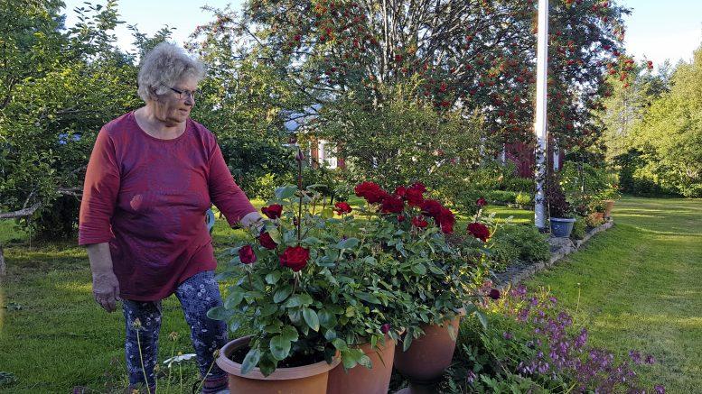 Vieno Kehuksen lempikukka on punainen ruusu, mutta tämän kesän yllättäjä on keltainen lajike, joka kukkii jo toista kertaa tälle kesälle.