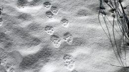 Ilveshavaintoja saadaan varmistettua pääasiassa talvisin, kun eläin jättää jäljet lumeen. Arkistokuva 2018: Pentti Tolonen
