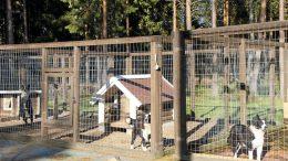 Harri Sanaksenahon omistamassa Teilojan Kennelissä tepastelee tällä hetkellä 4 koiraa. Eikä mitä tahansa koiraa, vaan Suomen parasta narttuperiyttäjä -linjaa. Koirilla on myös suuri osuus Sanaksenahon kaatamiin 298 hirveen.