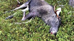 Päästäkseen mukaan hirviporukkaan on täytettävä tietyt kriteerit ja noudatettava metsästysseuran sääntöjä.