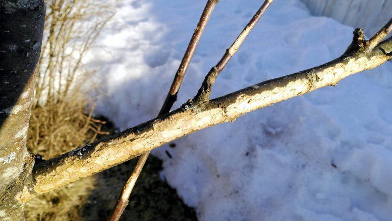 Omenapuut ovat jänisten ja rusakoiden herkkua.