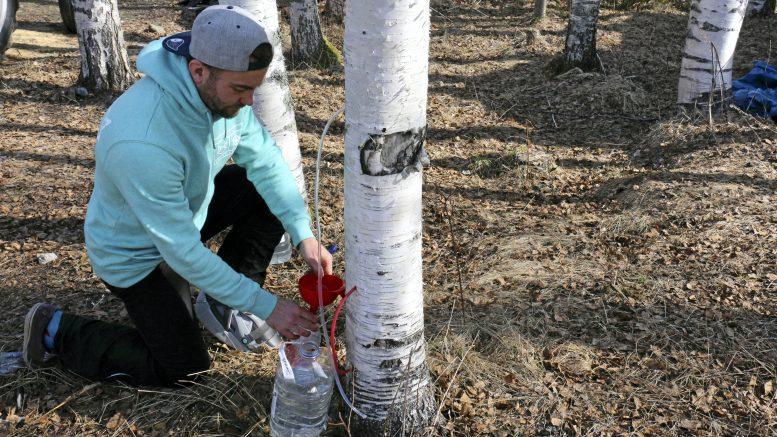 Koivunmahlaa voi kerätä lumien sulamisesta silmujen puhkeamiseen saakka. Jääliläinen Matti Partanen on puuhaan täysin hurahtanut ja on ostanut mahlan säilömistä varten jo uuden pakastimenkin.