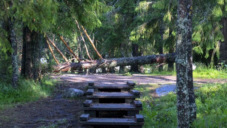 Voimakkaat myrskypuuskat saivat suuretkin puut kaatumaan. Tämä puu tukki Koitelin pikkusaaren kulkuväylän.