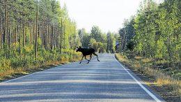 Hirvikannan kasvun rajoittaminen metsästyksellä turvaa myös autoilijoiden liikkumista. Tänä vuonna Rantapohjan alueelle myönnettiin viime vuotta vähemmän hirvenkaatolupia. Varsinainen hirvenmetsästyskausi alkaa Pohjois-Pohjanmaalla lokakuun ensimmäisenä lauantaina. (Kuva: Ismo Piri)
