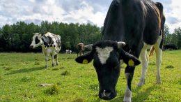 Lehmä ei laidunna kovilla helteillä, mikä näkyy suoraan lypsylehmän tuottavuudessa. Arkistokuva: Terhi Ojala