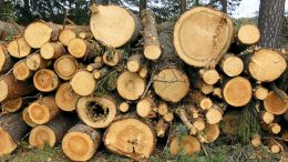 Myrskypuun korjuun venyminen talven yli tasoittanee puukaupan kehitystä loppuvuodeksi. Arkistokuva: Tuija Järvelä-Uusitalo