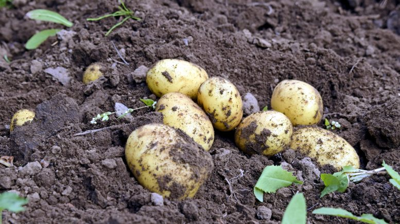 Perunanviljelijä Pekka Meriläinen kertoo, että perunalajikkeen valinnassa viljelyvarmuus ratkaisee. Perunan koko ei ole oleellista maun kannalta. Arkistokuva: Terhi Ojala